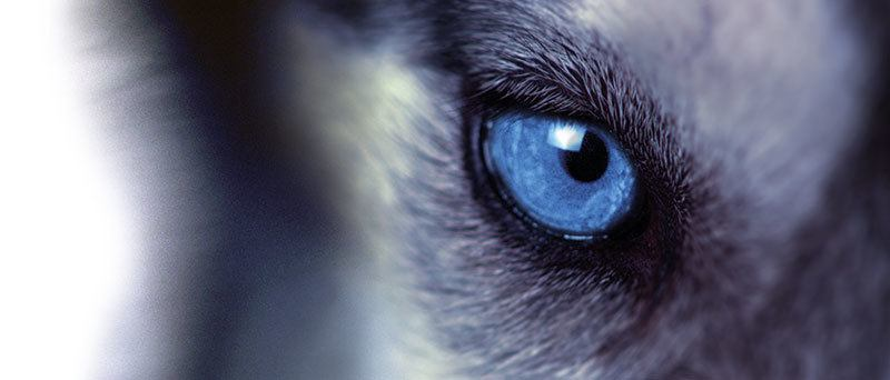 Dog Eye Medium highres